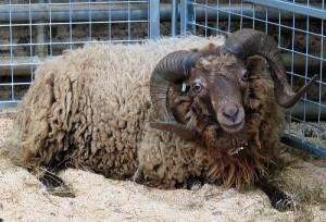 Le mouton d'Ouessant (Ovis aries), race naine bretonne
