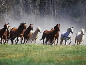 Le mustang, cheval de légende