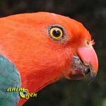 La perruche royale australienne, ou Alisterus scapularis