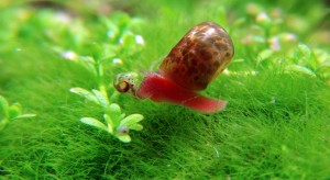 La planorbe rouge (Planorbis corneus), jardinière d'eau douce