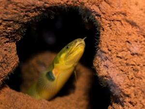 Le poisson roseau, ou Erpetoichthys calabaricus