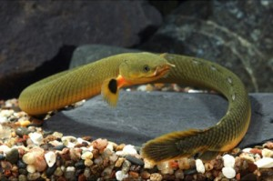 le poisson roseau ou erpetoichthys calabaricus animogen