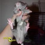 Santé : la castration d'un rat mâle (avantages et inconvénients)