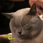 L'origine du ronronnement chez le chat