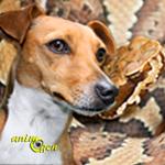 Les chiens tueurs de serpents, antidotes contre les reptiles venimeux