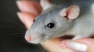 Santé : la santé des rongeurs, un défi pour les vétérinaires