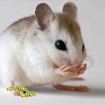 Comportement : toilette et grignotage de poils et moustaches chez les souris (causes, symptômes, solutions)