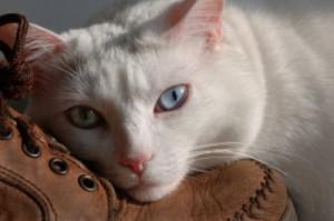 Santé : comment savoir si un chat est sourd ?