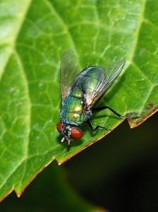 Les larves de la mouche verte (lucilia sericata), ces asticots qui nous collent à la plaie
