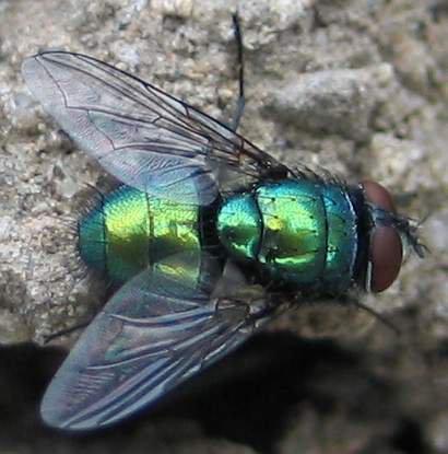 Les larves de la mouche verte lucilia sericata ces asticots qui nous collent la plaie - Invasion de mouches vertes ...