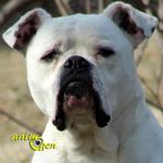 Le Bouledogue américain, ou American Bulldog