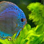 Aquariophilie d'eau douce : les problèmes d'agression dans un aquarium communautaire