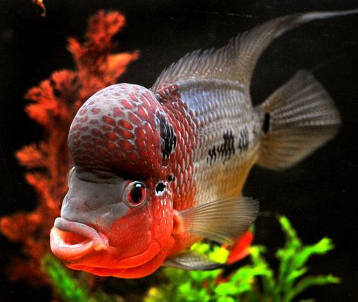 Aquariophilie d eau douce les probl mes d agression dans for Bac communautaire poisson rouge