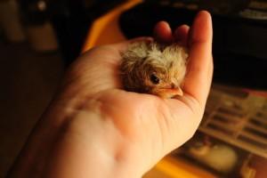apprivoisement-apprentissage-manipuler-apprivoiser-poule-méthode-oiseaux-basse-cour-animal-animaux-compagnie-animogen-2.jpg