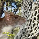 Jeux : la cholla, un bois de prédilection pour nos rongeurs et lapins