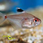 coeur-saignant-Hyphessobrycon-erythrostigma-espèce-maintien-paramètre-eau-température-poisson-eau-douce-aquarium-reproductionmâle-femelle-animal-animaux-compagnie-animogen-0