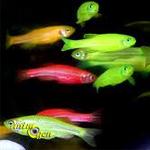 Le Danio fluo, un poisson d'eau douce qui annonce la couleur