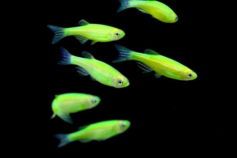 Le danio fluo ou glofish un poisson d eau douce qui for Poisson aquarium douce