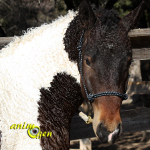 Le Curly, North American Curly Horse ou American Bashkir Curly, un cheval hypoallergénique