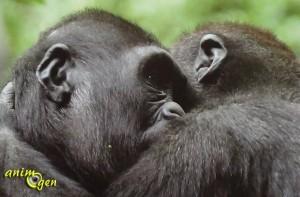 L'empathie chez les grands singes