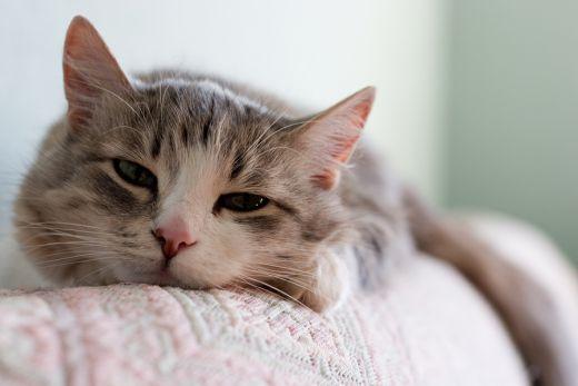 La gastrite chez le chat (causes, symptômes et traitement)