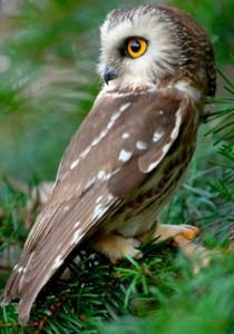 hiboux-tête-rotation-mouvements-comment-tourner-rapaces-prédateurs-oiseaux-sauvages-forêts-animal-animaux-compagnie-animogen-3
