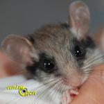 Le lérot, ou Bandit masqué (Eliomys quercinus)