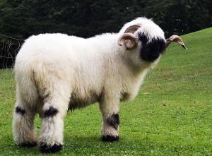 Le mouton à nez noir du Valais, un séducteur paré de douceur