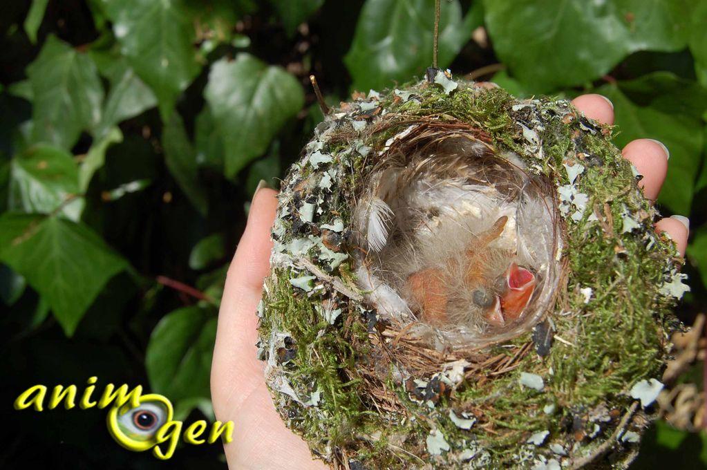 Peut-on toucher un oiseau tombé du nid ou s'imprègne-t-il de notre odeur ?