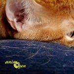Santé : les causes de la perte de poils chez les chats