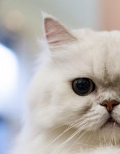 Les caresses, une source de stress pour les chats