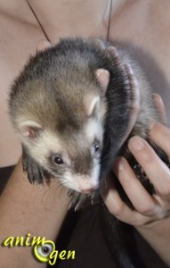 Les furets peuvent-ils survivre à l'état sauvage ?