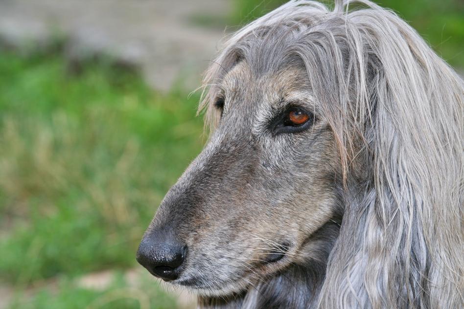 Santé : syndrome de dysfonctionnement cognitif, ou sénilité canine (causes, symptômes, traitement)