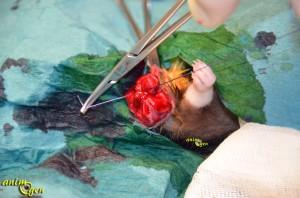 L'ablation d'une tumeur mammaire chez le rat (déroulement de l'intervention)