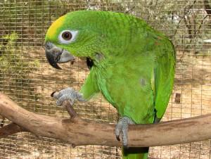 L'Amazone à front jaune, ou Amazona ochrocephala