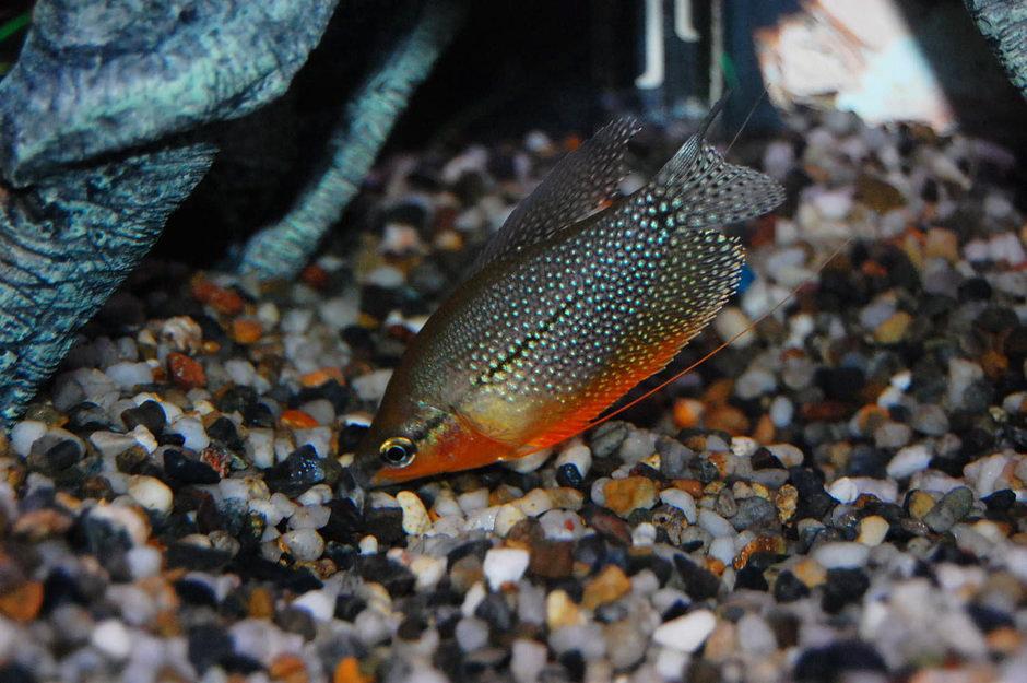 Le Gourami perlé, ou Trichogaster leeri