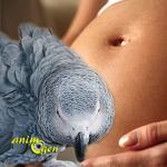 L'agressivité des perroquets envers les femmes enceintes
