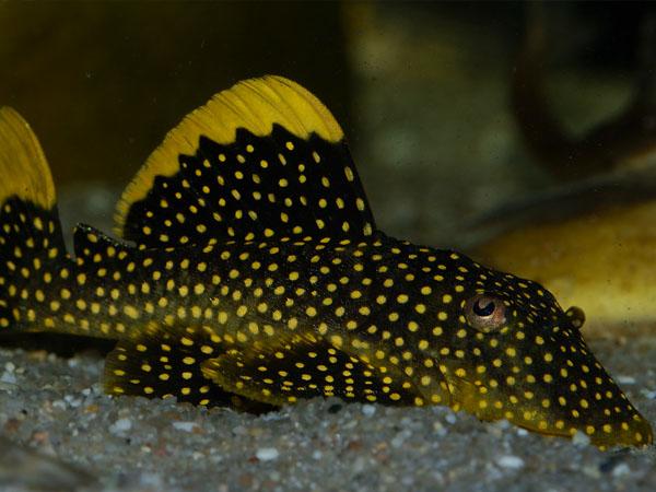 baryancistrus-sp-L018-L177-L081-L085-aquarium-mâle-femelle-reproduction-maintenance-espèce-eau-douce-poisson-animal-animaux-compagnie-animogen-4