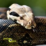 La maintenance d'un boa constrictor en captivité