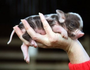 Qu'est-ce-qu'un cochon nain ?