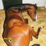 La colique chez le cheval (causes, symptômes, traitement, prévention)