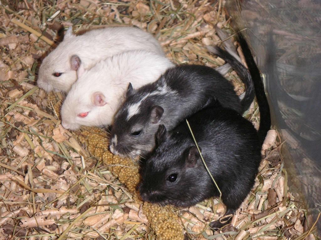 Comportement : les conséquences de l'isolement des rats, gerbilles, souris et cochons d'Inde