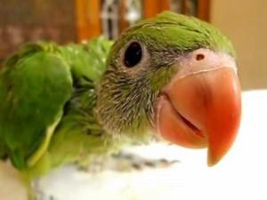 Comportement : le rôle de l'imprégnation chez les perroquets juvéniles