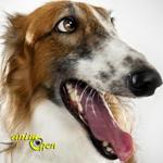 lévrier-russe-barzoï-chiens-races-caractère-entretien-éducation-comportement-origines-animal-animaux-compagnie-animogen-0