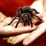 Manipuler une tarentule en toute sécurité : bons gestes et premiers soins en cas de chute