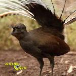 Le cri d'alarme de l'oiseau lyre (Menura novaehollandiae)