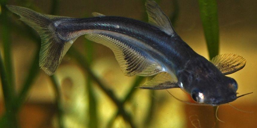 Le pangasius silure requin ou pangasius sutchi animogen - Poisson shark aquarium ...