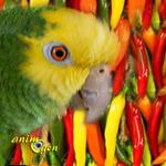 Santé : les piments aideraient-ils à lutter contre le cholestérol de nos perroquets ?