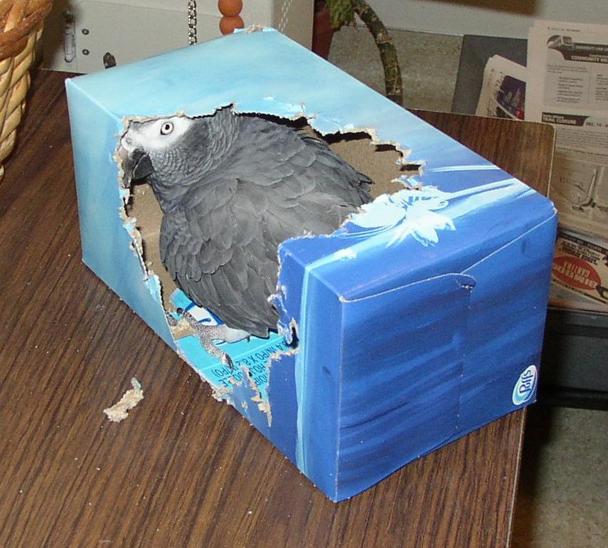 Reproduction : comment savoir si un perroquet va pondre ?