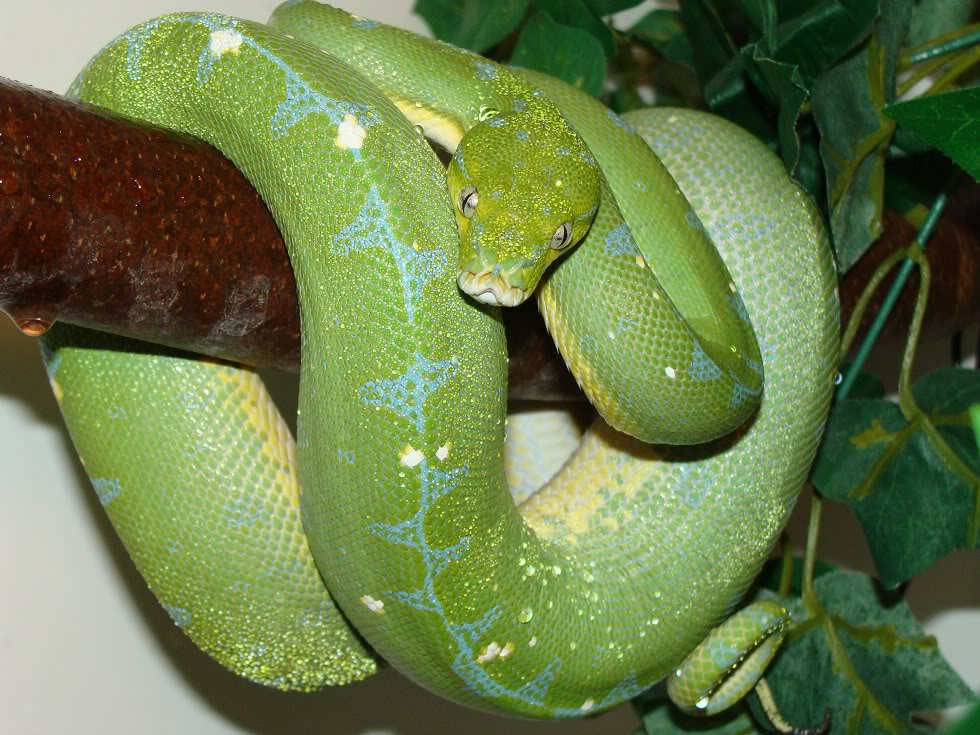 Le python vert, ou Morelia viridis